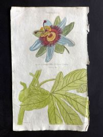Thornton 1812 Hand Col Botanical Print. Common Blue Passion Flower